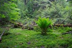 阿尔根金族公园蕨 库存图片