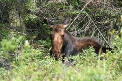 阿尔根金族女性麋公园 免版税库存照片