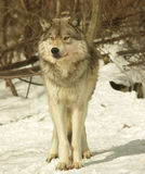阿尔法加拿大男狼 免版税库存照片