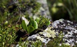 阿尔泰山的植物群 免版税库存图片