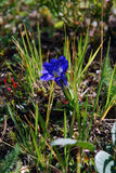 阿尔泰植物 图库摄影