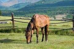 阿尔泰的狂放的本质 一匹美丽的马在st吃草 免版税库存照片