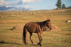 阿尔泰的狂放的本质 一匹美丽的马在st吃草 库存图片