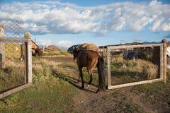 阿尔泰的狂放的本质 一匹美丽的马在st吃草 图库摄影