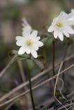 阿尔泰银莲花属 库存图片