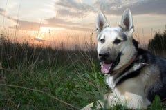阿尔萨斯狗 免版税库存照片