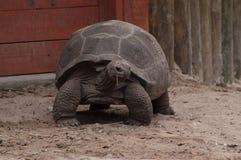 阿尔达布拉环礁巨型草龟朝右边看 免版税库存照片