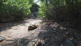 阿尔达布拉环礁巨型草龟本质上 宽 影视素材
