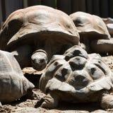 阿尔达布拉环礁巨型草龟的头 免版税库存图片