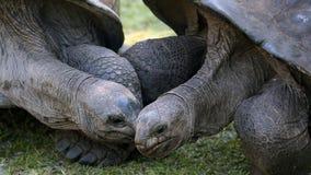 阿尔达布拉环礁巨型草龟,塞舌尔群岛 库存图片