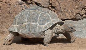 阿尔达布拉环礁巨型草龟4 免版税库存图片