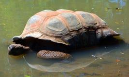 阿尔达布拉环礁巨型草龟 免版税库存图片
