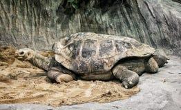 阿尔达布拉环礁巨型草龟(Aldabrachelys gigantea),危险的anim 库存照片