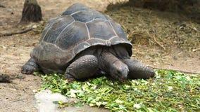 阿尔达布拉环礁巨型草龟Aldabrachelys gigantea绿色事假 影视素材