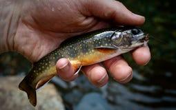 阿巴拉契亚溪南部的鳟鱼 免版税库存照片