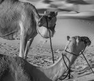 阿布扎比骆驼狂放的生活护卫舰的沙漠本质 免版税库存图片