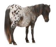 阿帕卢萨马微型马,马属caballus 库存照片