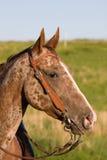 阿帕卢萨马美丽的顶头马 库存图片