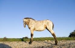阿帕卢萨马美丽的驹 免版税库存照片