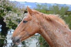 阿帕卢萨马被察觉的马画象 库存图片
