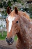 阿帕卢萨马被察觉的马画象 免版税库存照片