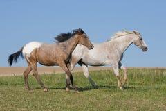 阿帕卢萨马运行二的马草甸 库存图片