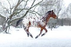 阿帕卢萨马马赛跑疾驰在冬天森林里 库存图片