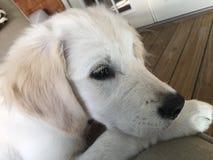 阿帕2美丽的小狗 免版税库存照片