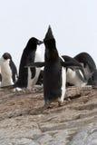 阿德力企鹅企鹅 免版税库存图片