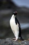 阿德力企鹅企鹅 库存照片