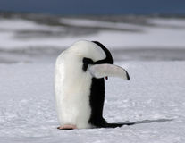 阿德力企鹅隐藏 库存照片