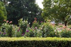 阿德莱德植物园的大丽花庭院,南澳大利亚 免版税库存照片