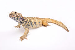 阿拉伯人南部多刺被盯梢的蜥蜴(Uromastyx yemenensis) 免版税库存照片