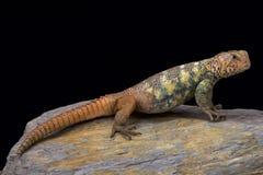 阿拉伯人南部多刺被盯梢的蜥蜴(Uromastyx yemenensis) 免版税库存图片