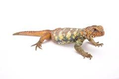 阿拉伯人南部多刺被盯梢的蜥蜴(Uromastyx yemenensis) 库存图片