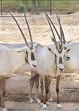 阿拉伯人接近的羚羊属查阅 免版税库存图片