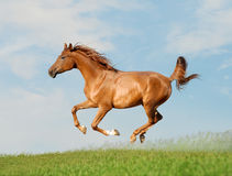 阿拉伯人解救马 免版税库存照片