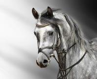阿拉伯人起斑纹灰色马 免版税图库摄影