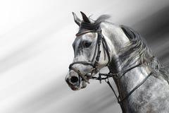 阿拉伯人起斑纹灰色马 免版税库存照片