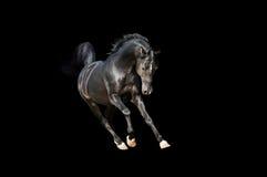 阿拉伯公马在黑色小跑-查出 免版税库存图片