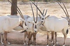 阿拉伯垫铁羚羊属点 免版税图库摄影