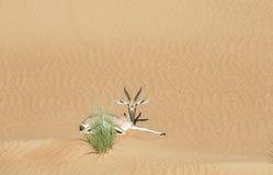 阿拉伯山瞪羚在沙漠 免版税库存图片