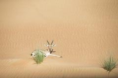 阿拉伯山瞪羚在沙漠 图库摄影