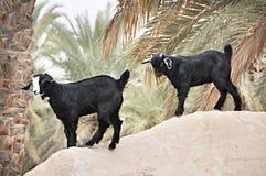 阿拉伯山羊临近棕榈树 免版税图库摄影