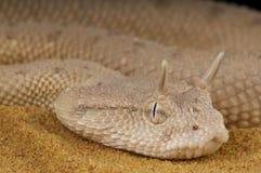阿拉伯有角的蛇蝎/角蝰蛇gasperettii 免版税库存图片
