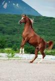 阿拉伯栗子公马抚养 在山背景 免版税图库摄影