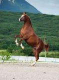 阿拉伯栗子公马抚养 在山背景 库存照片