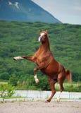 阿拉伯栗子公马抚养 在山背景 免版税库存图片