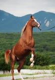 阿拉伯栗子公马抚养 在山背景 库存图片