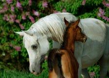 阿拉伯母马和驹有后边春天淡紫色背景 免版税库存照片